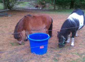 mini horse rescue